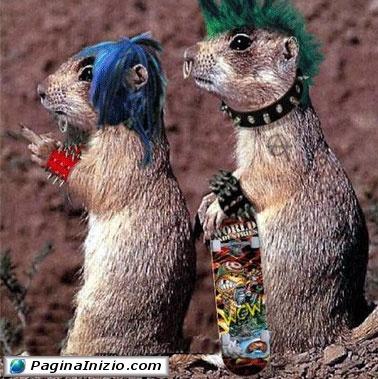 Marmotte punk