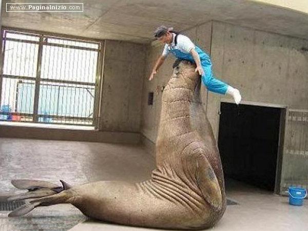 Una foca circense