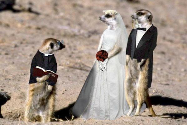 Matrimonio Tra Uomo E Animale : Foto matrimonio tra suricati