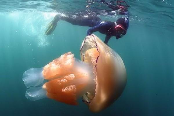 Invasione di meduse giganti