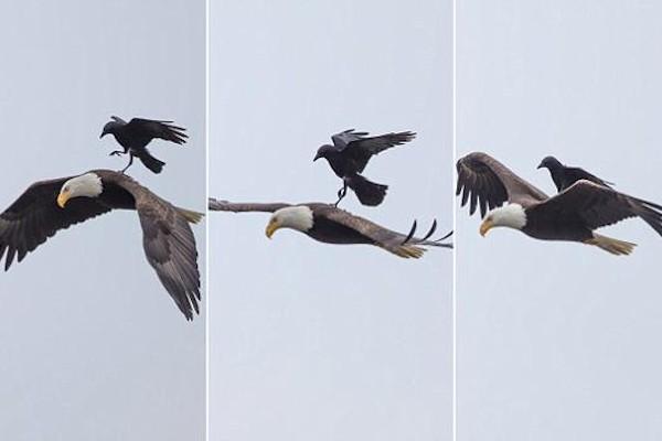L'aquila dà un passaggio al corvo