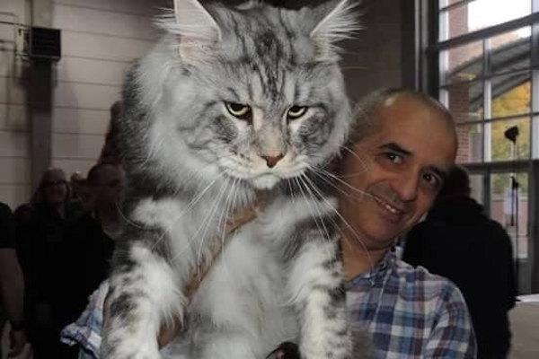 Un gatto oversized