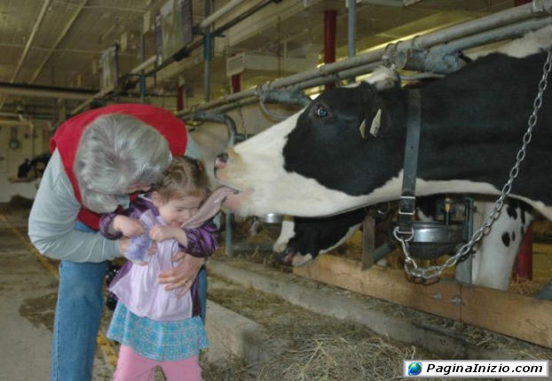 Una mucca dalla lingua lunga!
