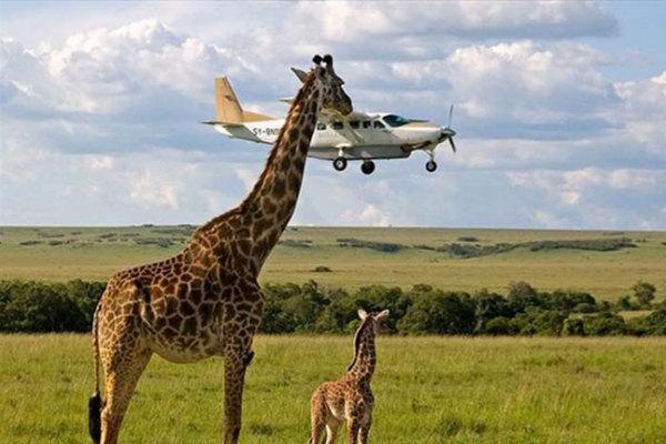 Una giraffa affamata