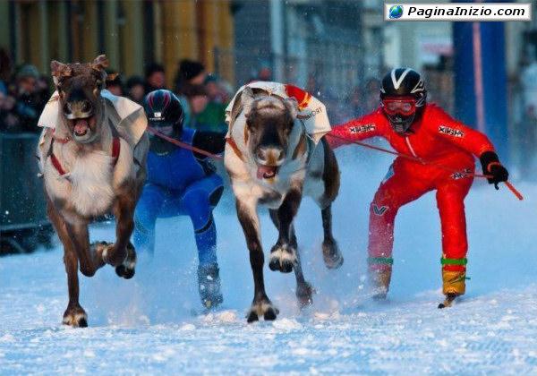 Campionato di sci con renne!