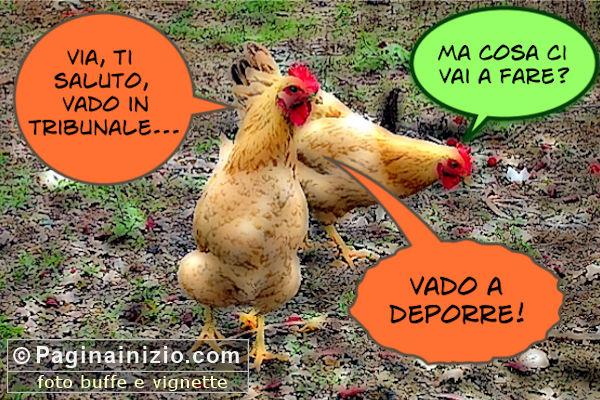 Tra galline...