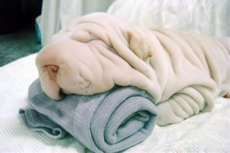 Cane o asciugamano?
