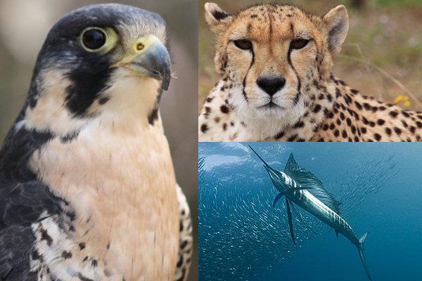 Falco pellegrino - Ghepardo - Pesce vela