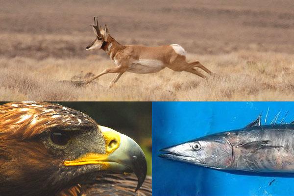 Antilocapra - Aquila reale - Pesce Wahoo