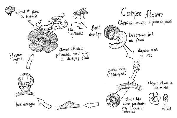 Ciclo riproduzione della pianta Rafflesia