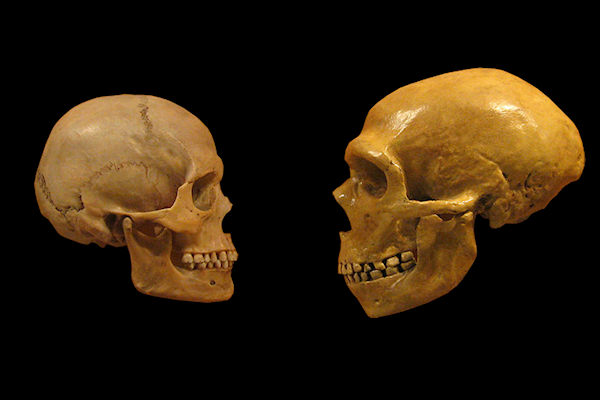 Comparazione dei crani Sapiens (sinistra) e Neanderthal (destra)