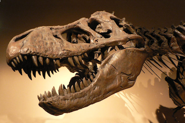 Teschio di Tyrannosaurus rex