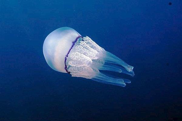 Medusa Polmone di mare