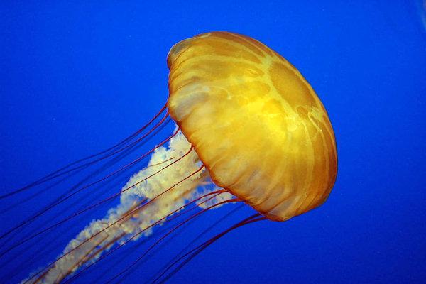 Medusa Chrysaora