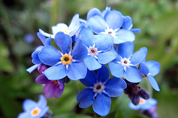 Il fiore ufficiale della festa dei nonni è il Myosotisa