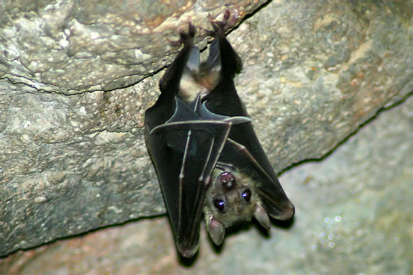 Pipistrello appeso
