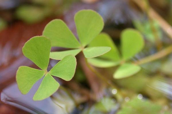 Quadrifoglio acquatico - Marsilea quadrifolia