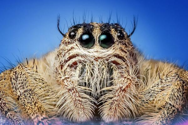 I ragni non hanno le orecchie ma avvertono i rumori tramite i peli