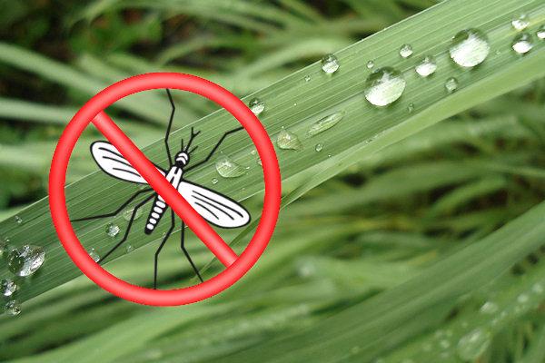 Come allontanare le zanzare con rimedi naturali for Larve zanzare