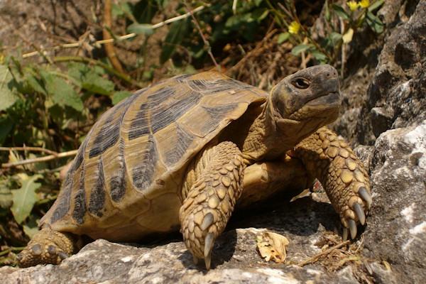 Come gestire il letargo delle tartarughe - Pagine di colorazione tartaruga ...
