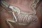 Fossile di Tarbosaurus