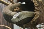 Quali sono i serpenti pi velenosi del mondo for Serpente nero italiano