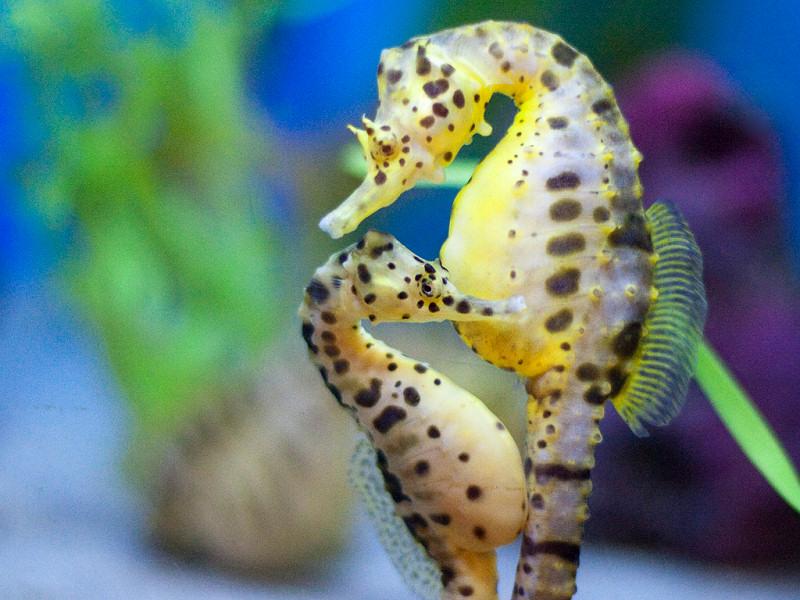 Zoo virtuale perch il cavalluccio marino ha testa per la for Foto cavalluccio marino