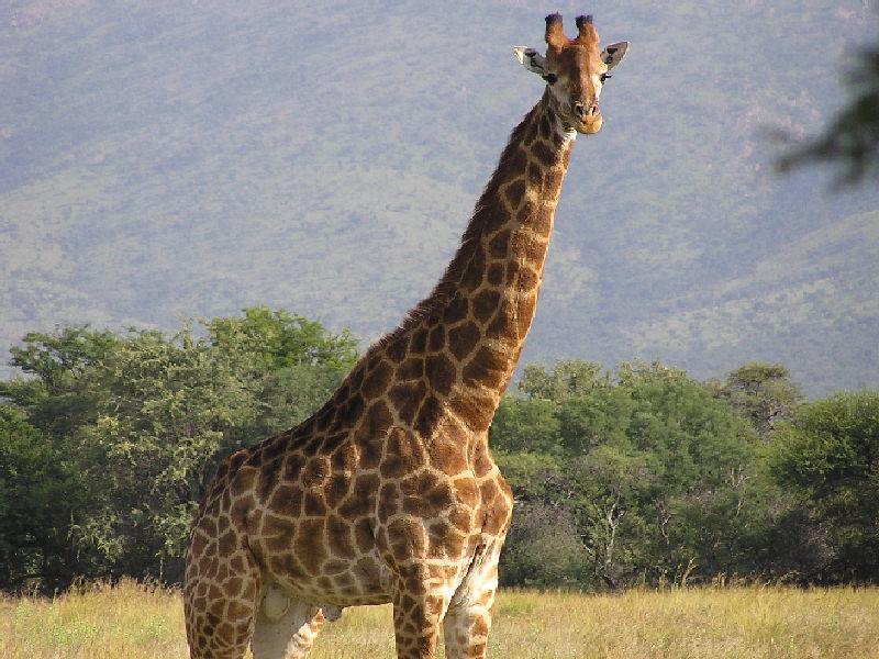 Zoo virtuale perch la giraffa ha la lingua prensile for Immagini giraffa per bambini