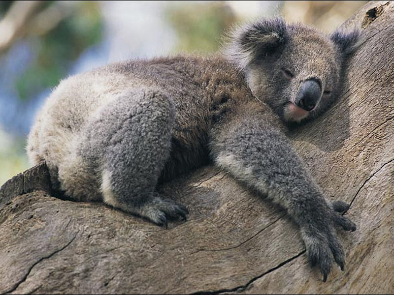 koala-4.jpg