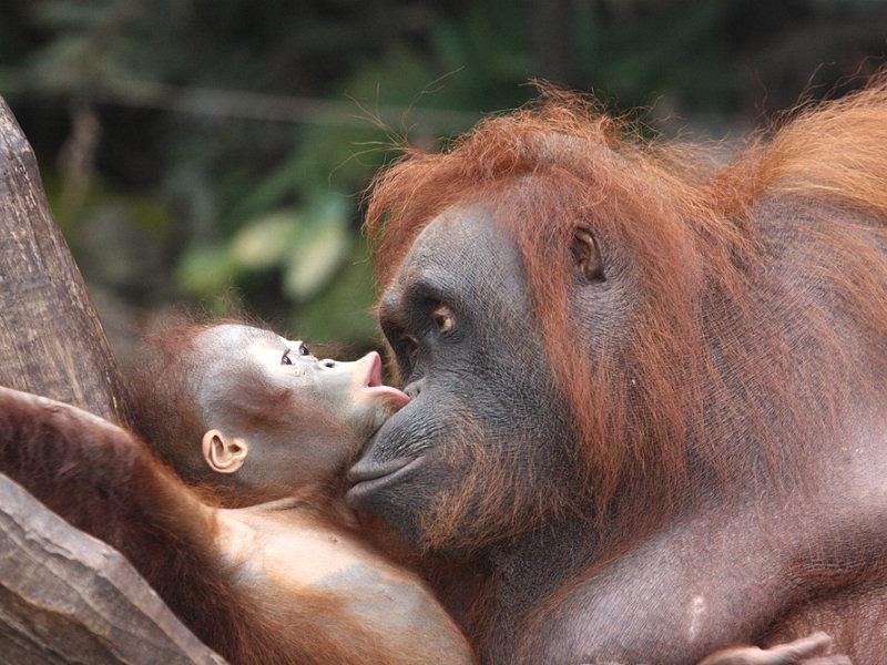 Zoo virtuale perch l 39 orango intelligente - Colorazione pagine animali zoo ...