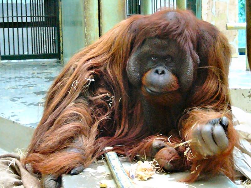 Zoo virtuale foto orango - Colorazione pagine animali zoo ...