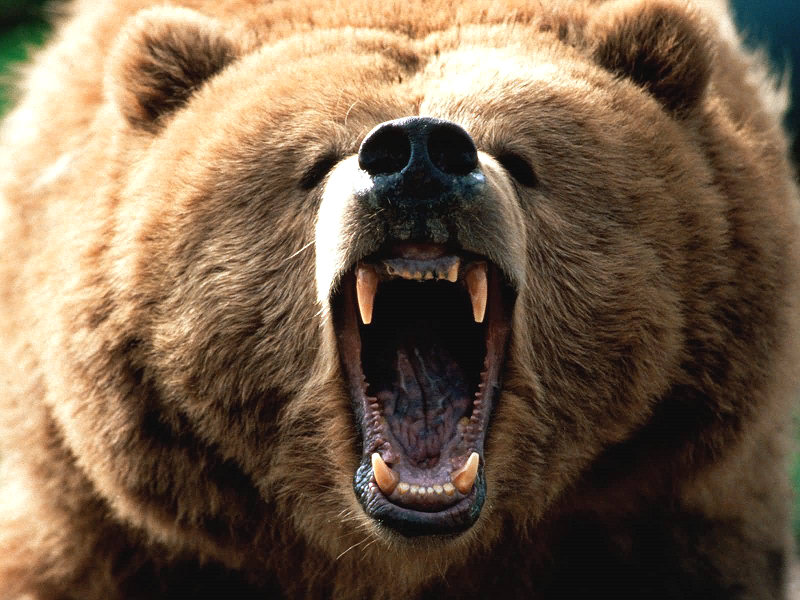 Zoo virtuale perch l 39 orso bruno non pu esser svegliato for Affittare una cabina nel grande orso