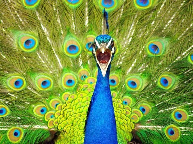 Zoo virtuale foto pavone - Immagini pavone a colori ...