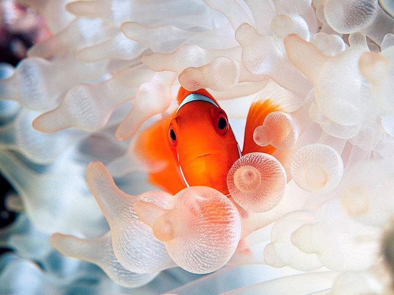 Zoo virtuale foto pesce pagliaccio for Immagini pesce pagliaccio