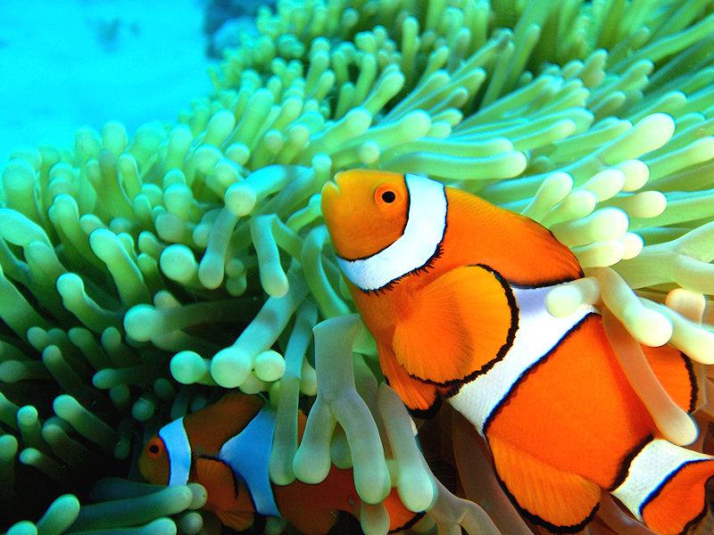 Zoo virtuale foto pesce pagliaccio for Pesce pagliaccio foto