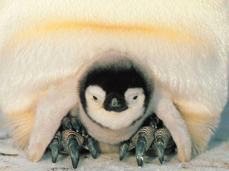 Zoo virtuale foto pinguino - Colorazione pagine animali zoo ...