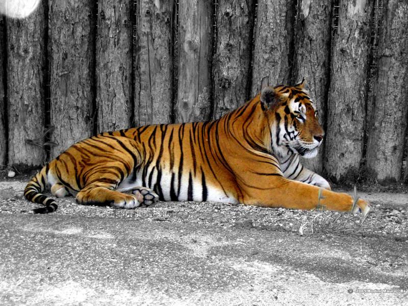 Zoo virtuale perch la tigre del bengala bianca - Colorazione pagina di tigre ...