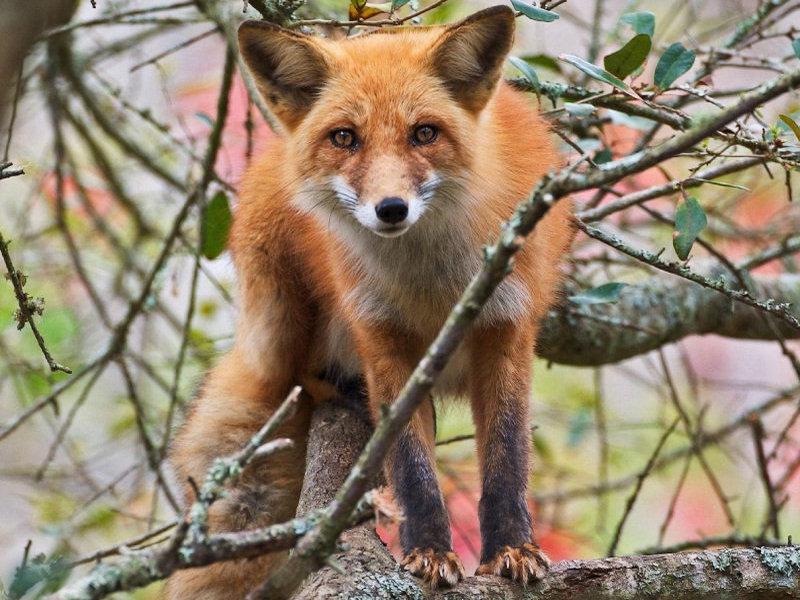 Gay fox immagini per bambini