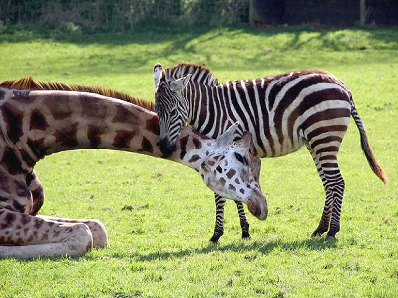 zoo virtuale perch le zebre mangiano e bevono soprattutto di sera. Black Bedroom Furniture Sets. Home Design Ideas