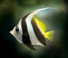 Nomi per pesci da acquario femmina pesce rosso tropicale for Pesci per acquario tropicale