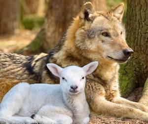 Sei più lupo o agnello?